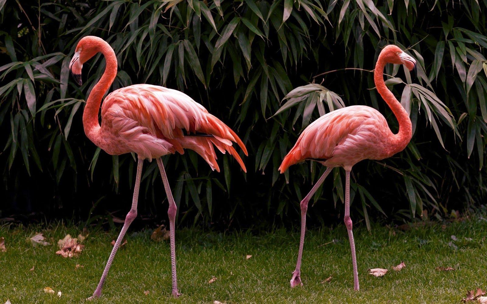 Burung Flamingo Nama Hewan Dari Huruf F Flamingos Hewan Flamingo