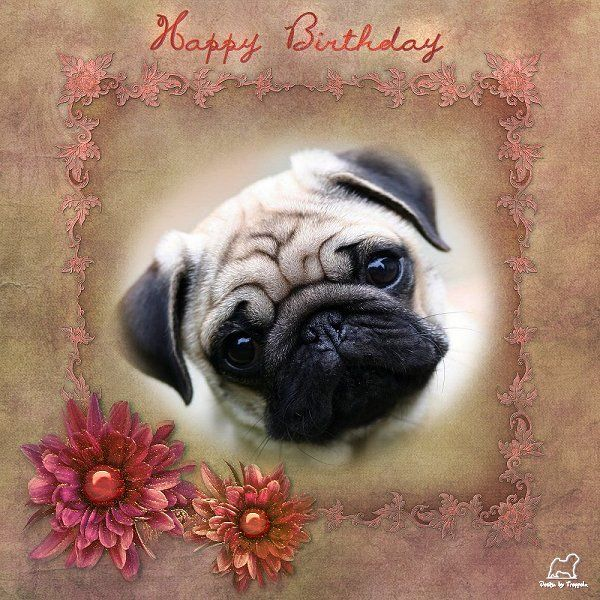 Pug Birthday Card PUG BIRTHDAY CARDS Pinterest – Pug Birthday Cards