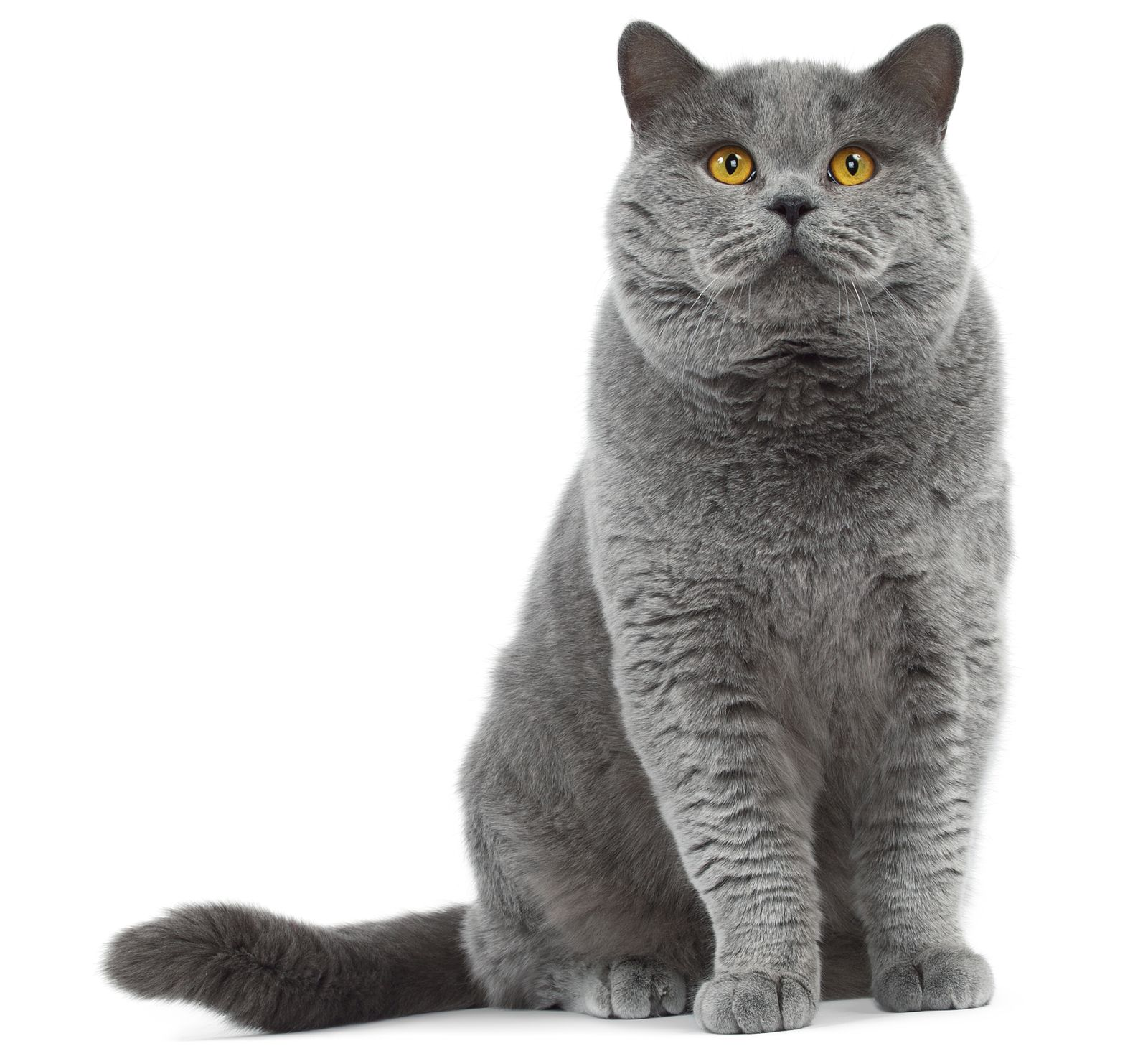 Domestic Shorthair Cat Related Keywords & Suggestions