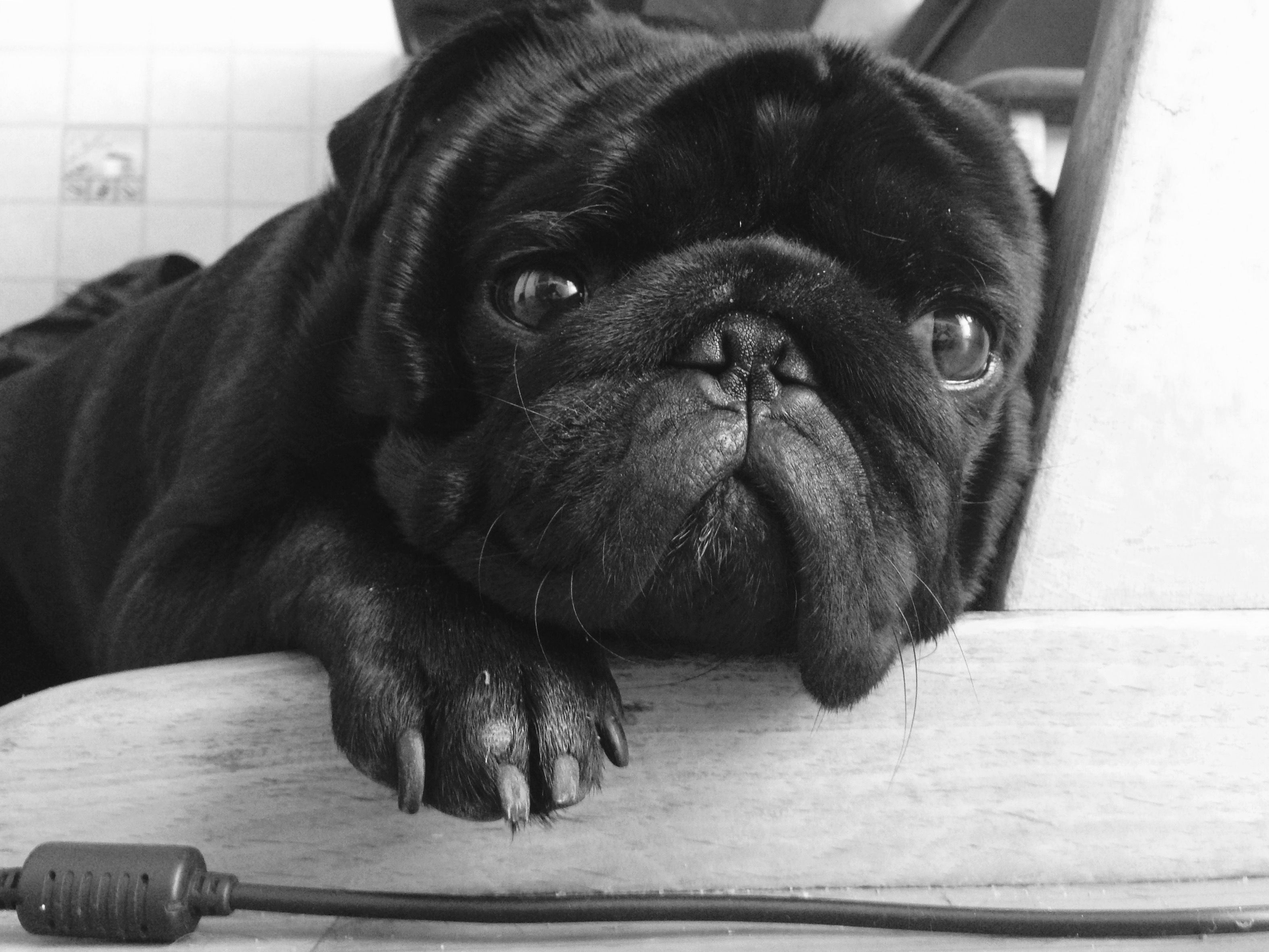 So sweet forever pugs pinterest dog black pug puppy and