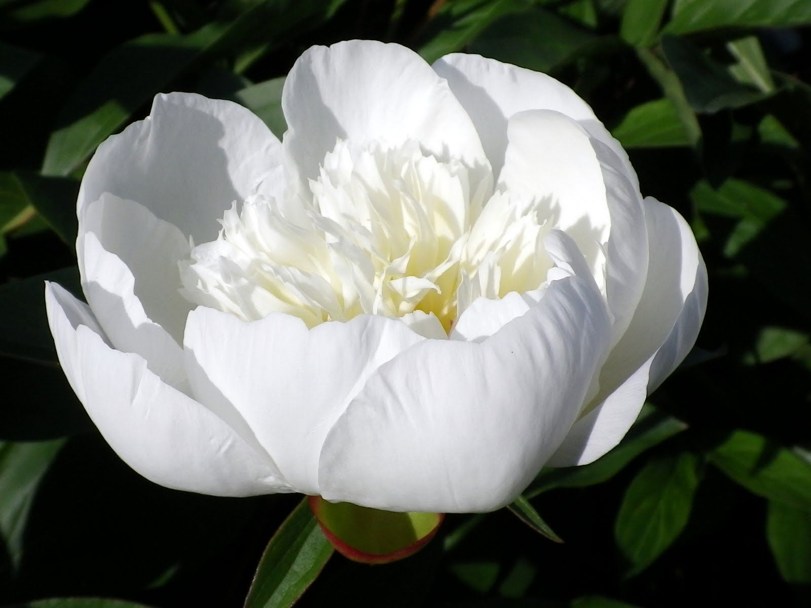 Peony Immaculee With Images Most Beautiful Flowers