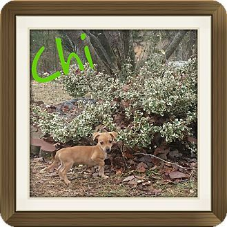 Hagerstown Md Dachshund Beagle Mix Meet Chi Dc A Puppy For