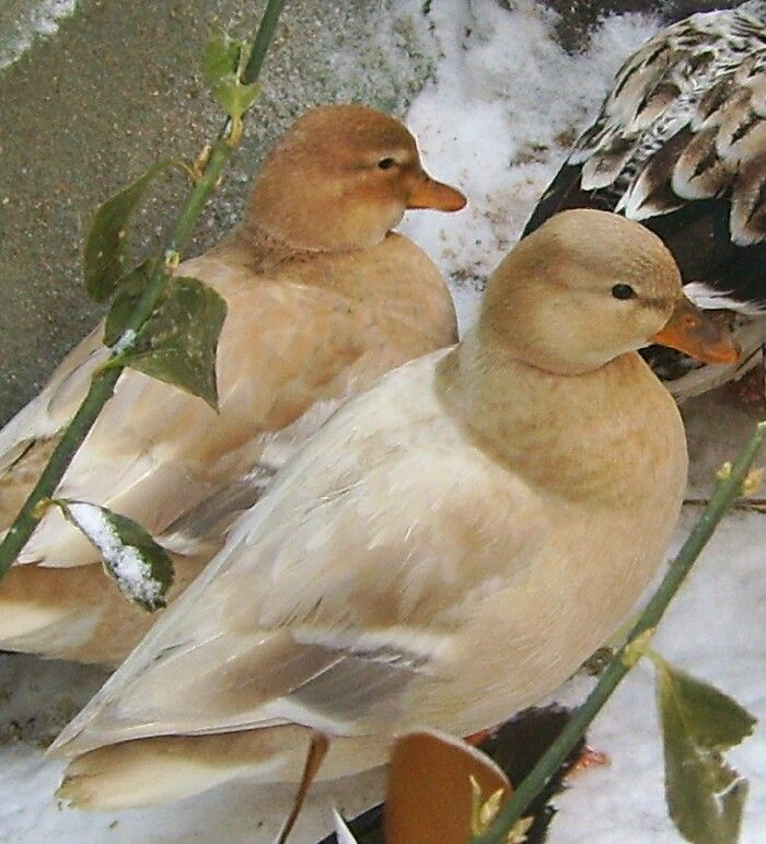 Call Ducks A Small Sweet Faced Duck Breed Duck Breeds Nature Animals Duck Photo