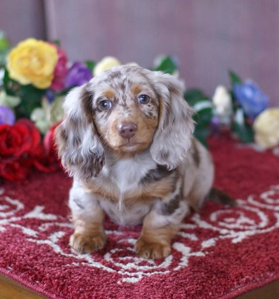 Tiny Dapple Doxie What Markings Beautiful Apple And So Tiny