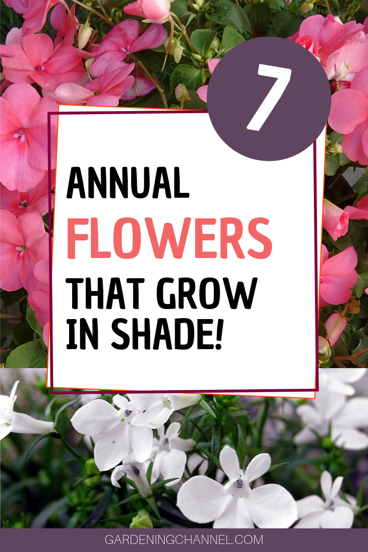 7 Annual Flowers That Grow In Shade Annual Flowers Flowers