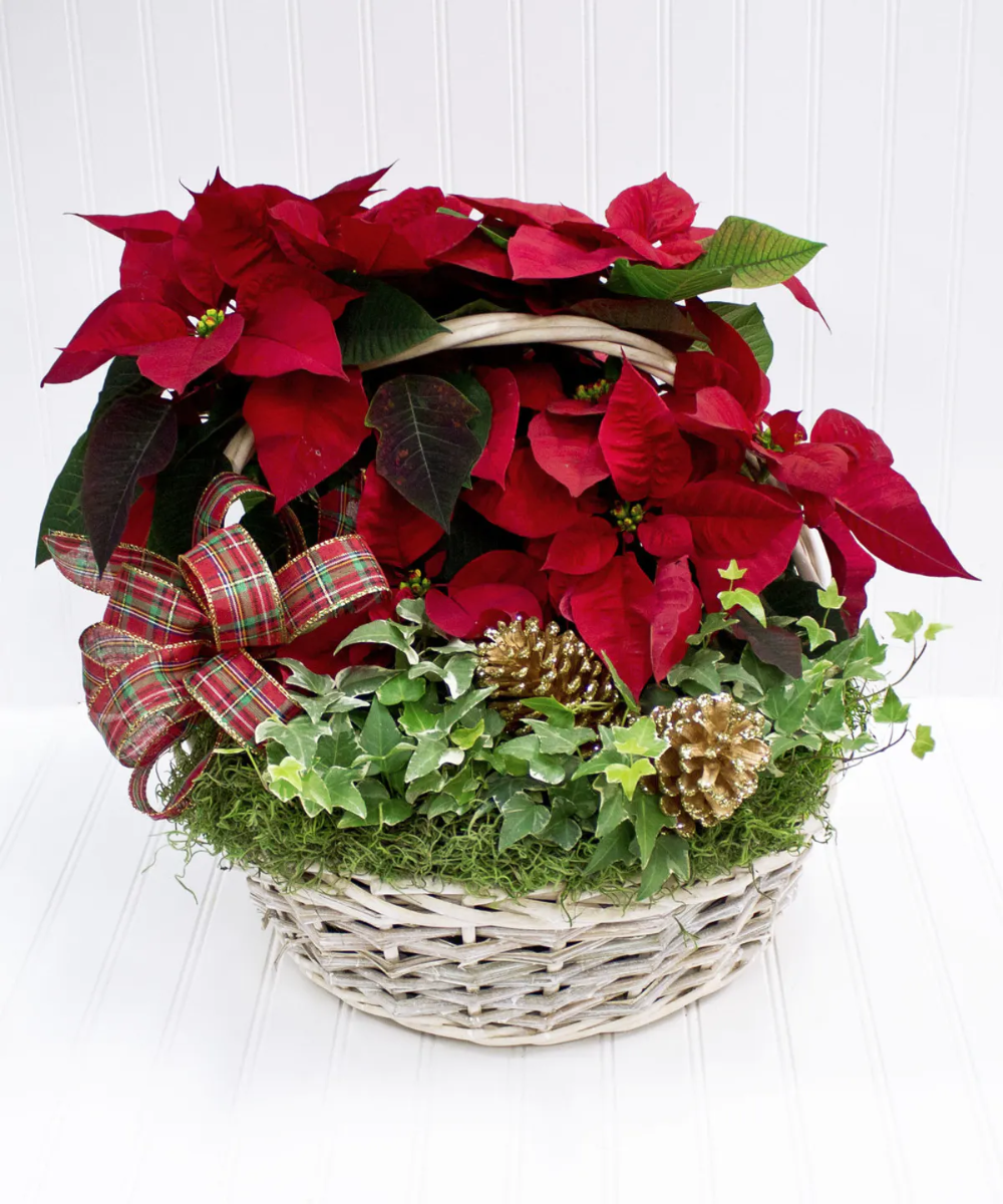 Sturdy Willow Basket Filled With Hearty Red Poinsettias And Ivy Decked With Christmas Trim A Great Gift For Any Hom Flower Delivery Blossom Flower Flower Shop