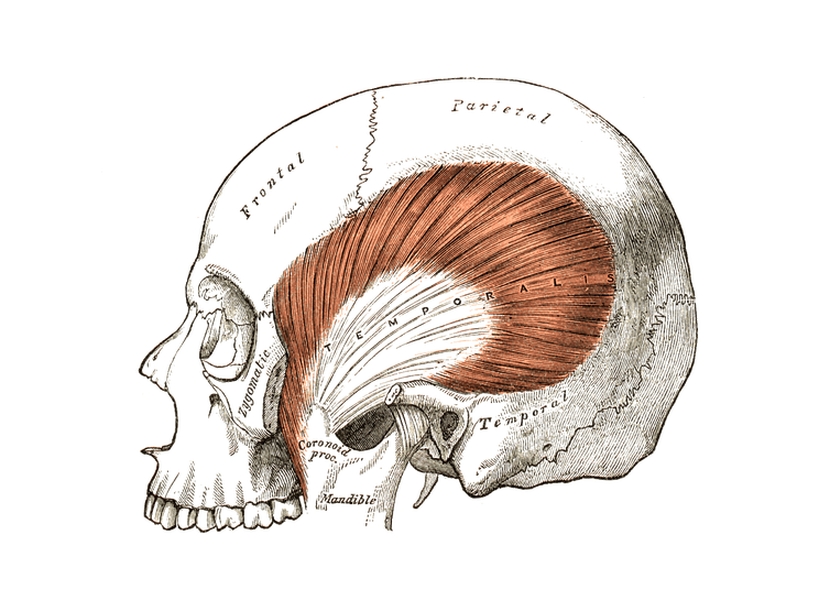 Myology Massage Therapy Pinterest Anatomy