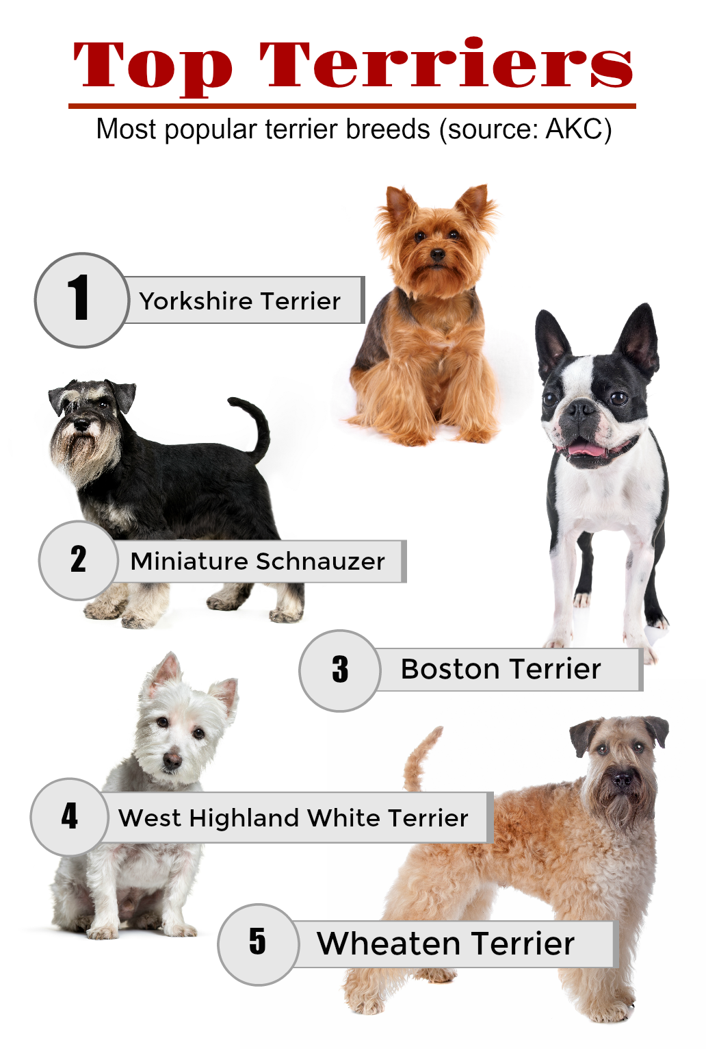 The Ultimate Guide To Terrier Breeds Terribly Terrier Terrier