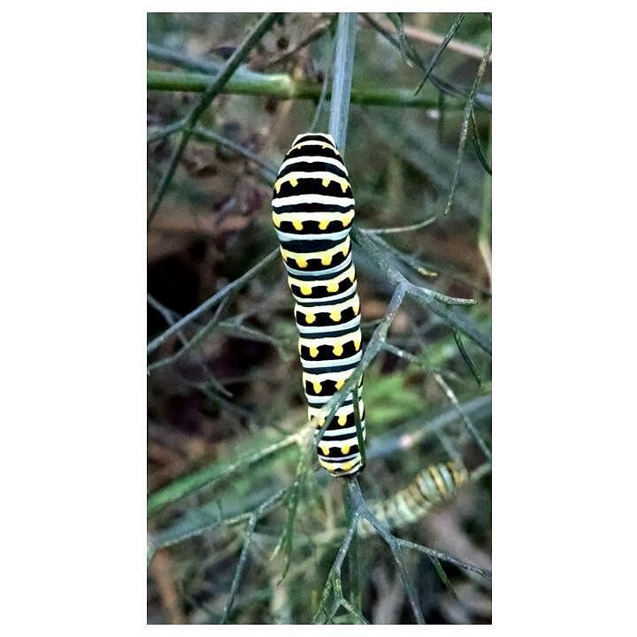 Apparently the black #swallowtail caterpillars (papilio polyxenes) in my garden aren't altogether convinced that the approaching season is #fall. Neither am I. With the almost-continuous #rain we've had in the past week it feels more like a second spring. Which might explain why the #caterpillars are having a fennel feast as we speak. #naturephotography #nature_perfection #naturelovers #nature #insects #insectlovers #beautifulinsect #outdoors #gardening #homegrown #pollinators #l4l #l4f #c4c…