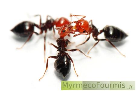 [MyrmecoFourmis.fr fourmis et insectes]:Plan du site