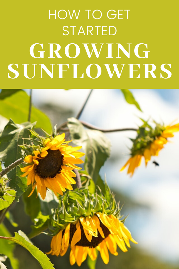 How To Grow Care For And Use Sunflowers In 2020 Planting Sunflowers Growing Sunflowers Growing Sunflowers From Seed