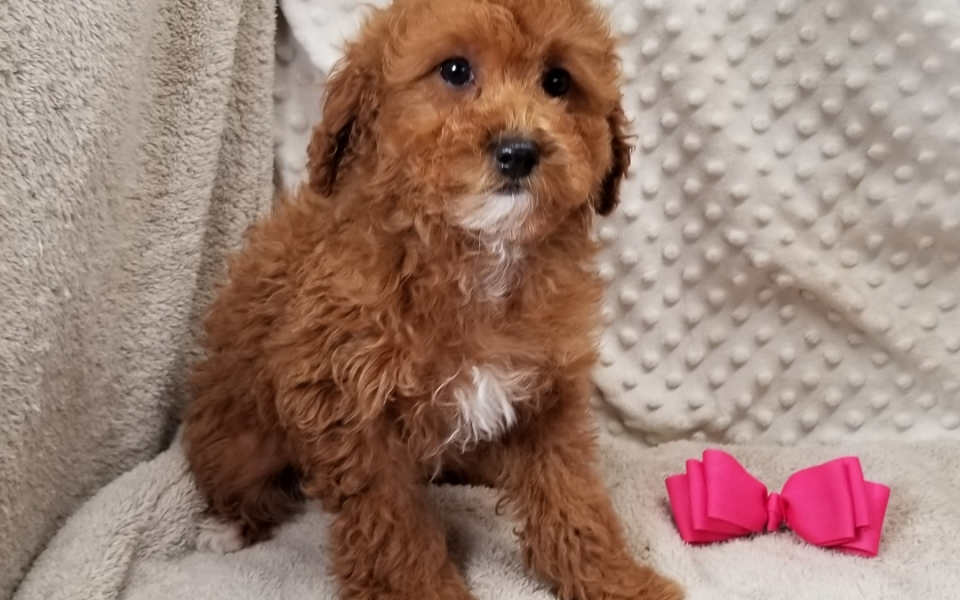 Toy Breed Puppies For Sale In Texas Vicky S Toy Puppies Toy Puppies Puppies Miniature Poodle