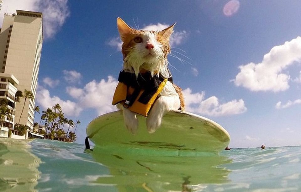 OneEyed Kitty Loves Swimming And Surfing In Hawaii