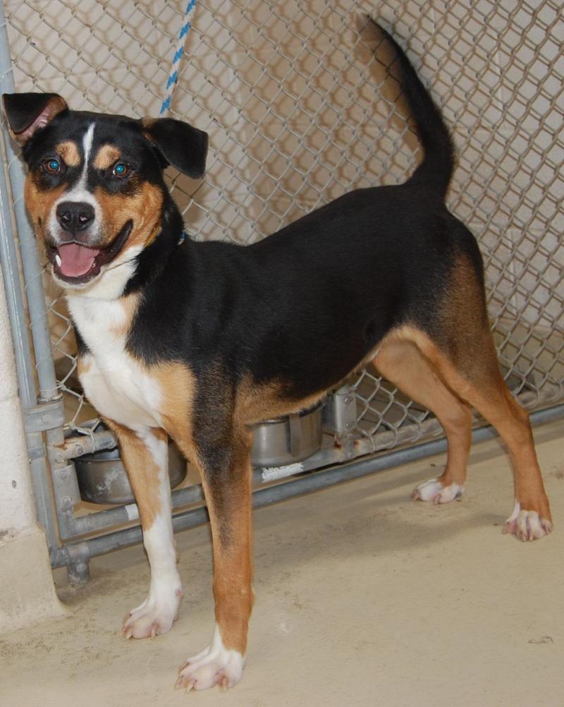 Shepherd Mix Shepherd Mix • Adult • Male • Large San Angelo Animal Shelter San Angelo, TX