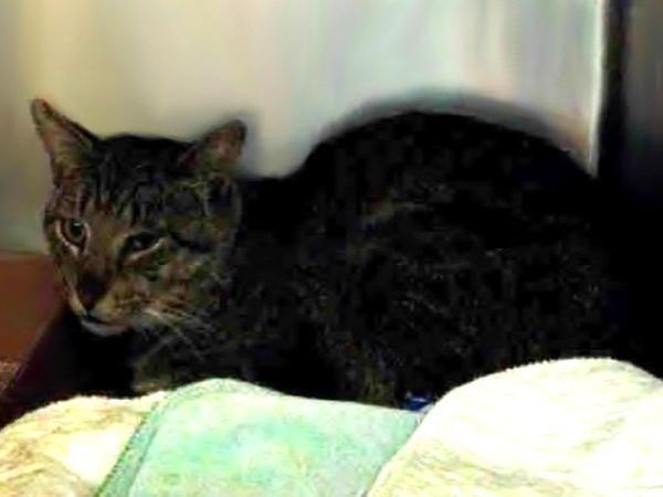 NUGGET – A1077957   NYC AC&C Urgent Cats