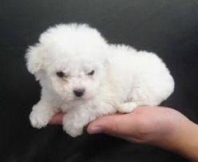 Perros Tacita De Te Buscar Con Google Venta De Perros Casetas Para Perros Perros Tacita De Te