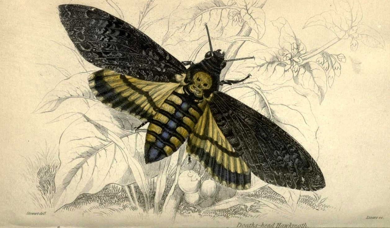 Image result for death's head hawk moth Pinterest