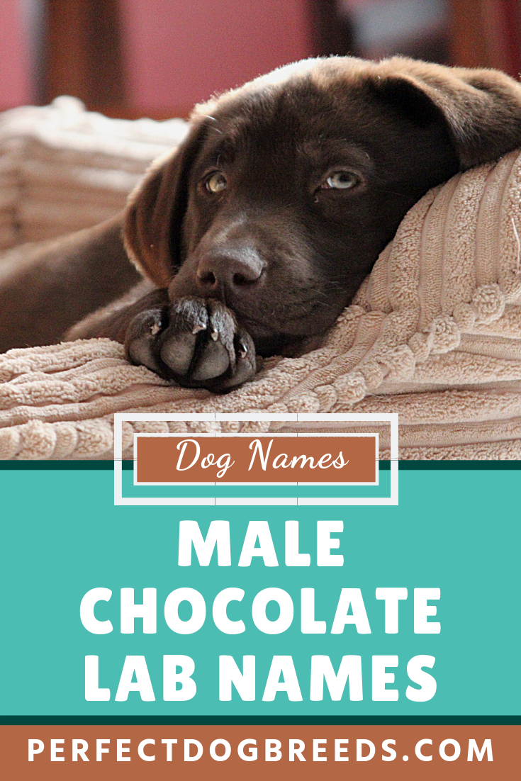 Your male chocolate Labrador is bound to a vital