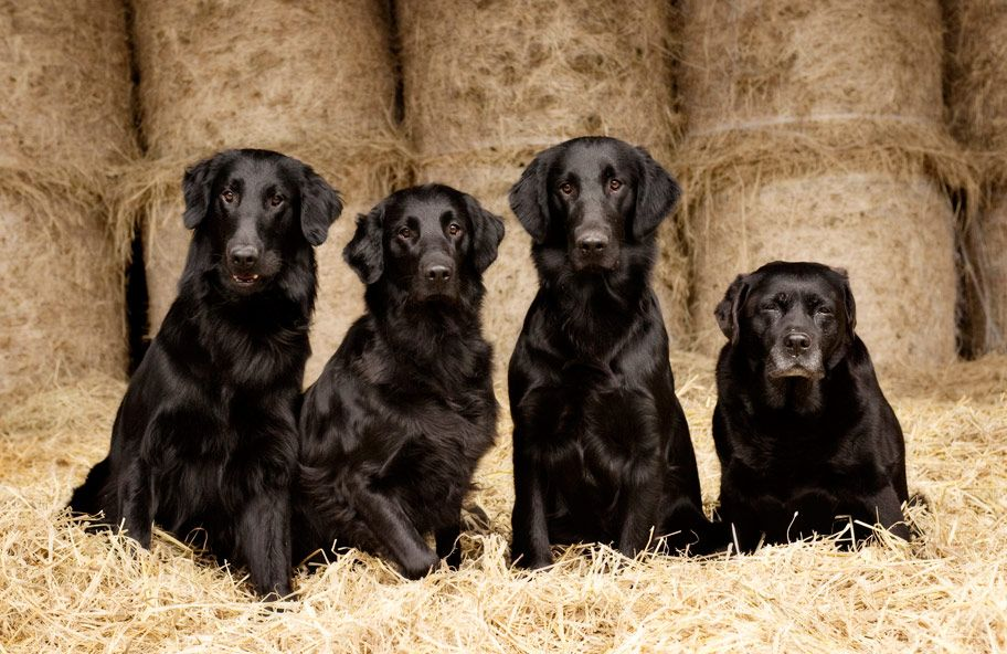 Flatcoats and a labrador. Dog photograph, Dog friends, Dogs