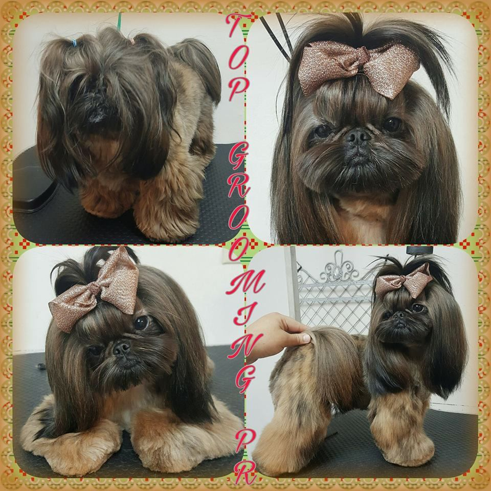 Pin On Shih Tzu Hair Styles