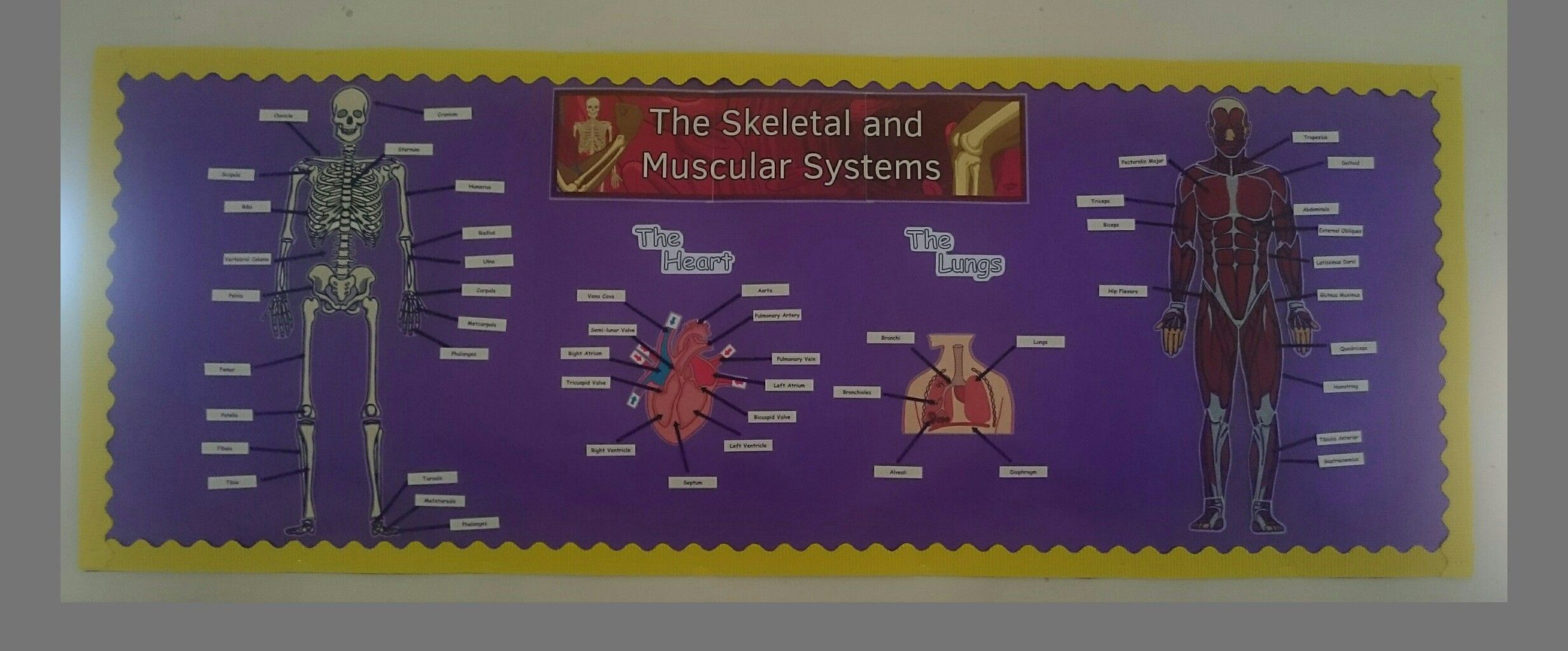 The Skeletal And Muscular System Gcse Pe Display Board By