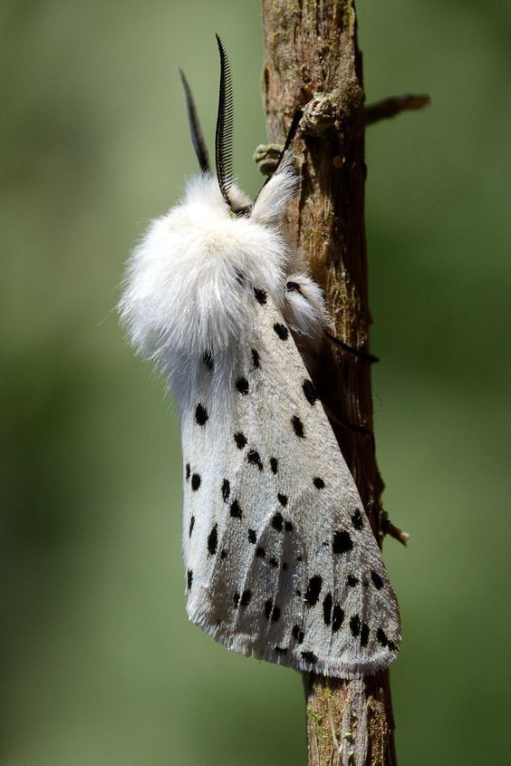 White Ermine moth (Europe, Eurasia, China, Japan, S Siberia) In China several sibling species occur.