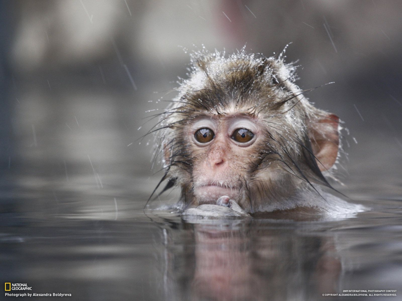 Monkey Wallpaper top most cute and beautiful monkey wallpapers in hd new | hd