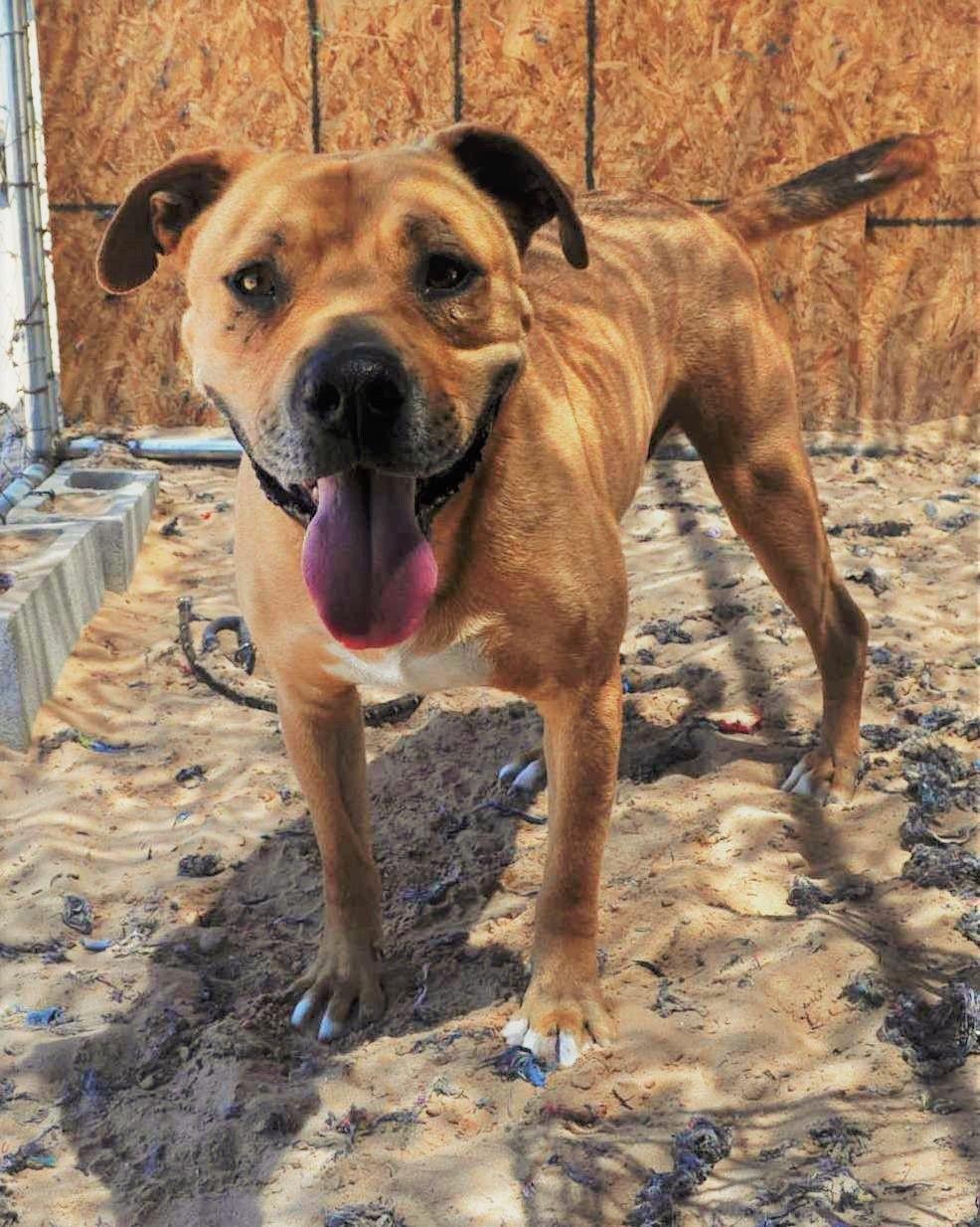 Bullboxer Pit dog for Adoption in Tempe, AZ. ADN565019 on