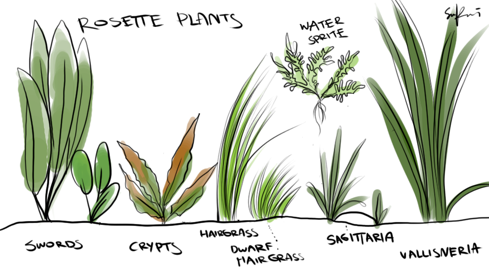 Simple yet effective id of aquatic plants rosette plants for Easy pond plants
