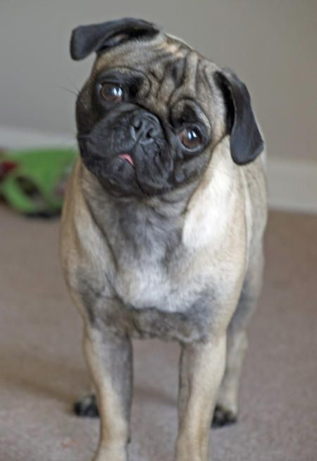 Cali The Pug Pugs Scottish Terrier Dogs And Puppies