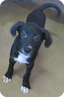 Labrador Retriever Mix Puppy For Adoption In Canon City Colorado
