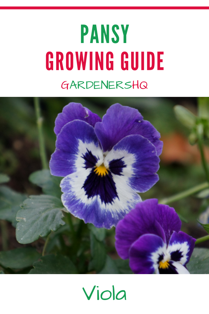 The Beautiful Pansy Brings Life To The Garden In The Spring Learn How To Grow Viola Species In Your Garden Pansies Plants Hardy Perennials