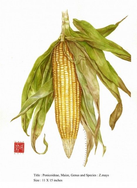 picture of corn   For the Home in 2019   Botanical ...