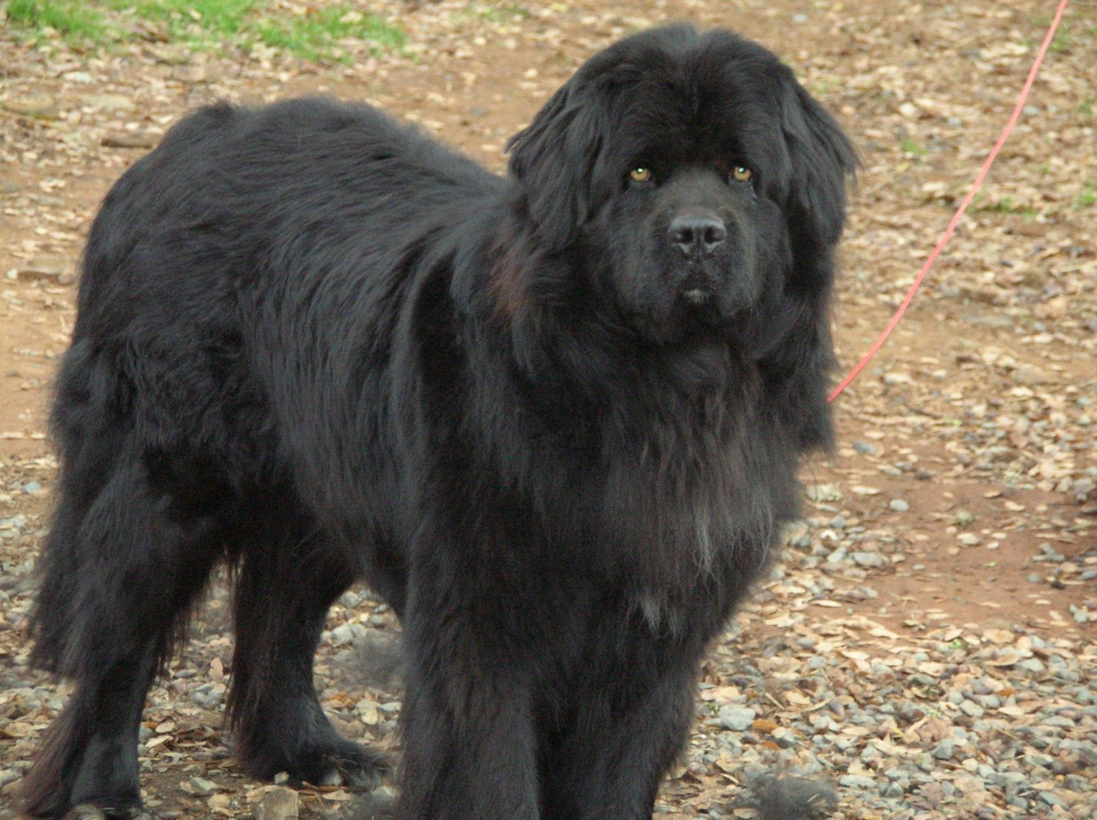The Newfoundland is also extremely good with other animals