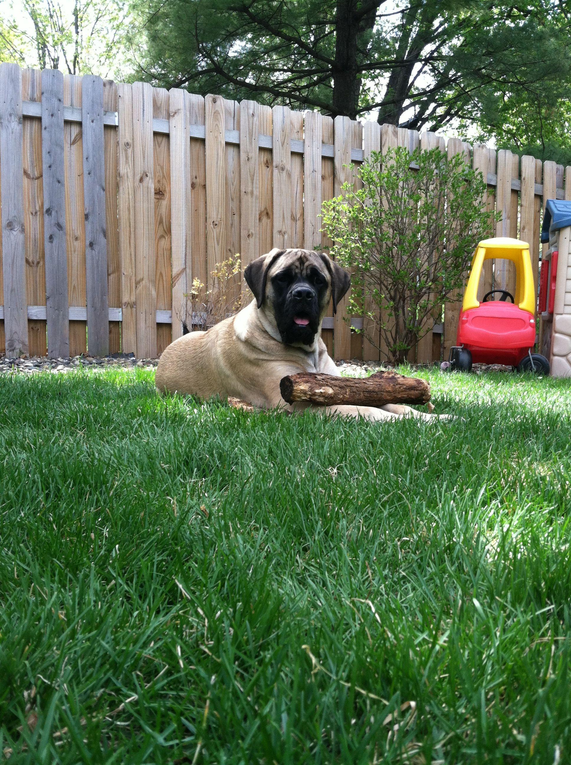 Master Chief Our English Mastiff 1 Year Old 140 Pounds Mastiff