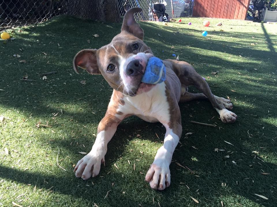 adopt dudley from city of antioch animal services antioch ca