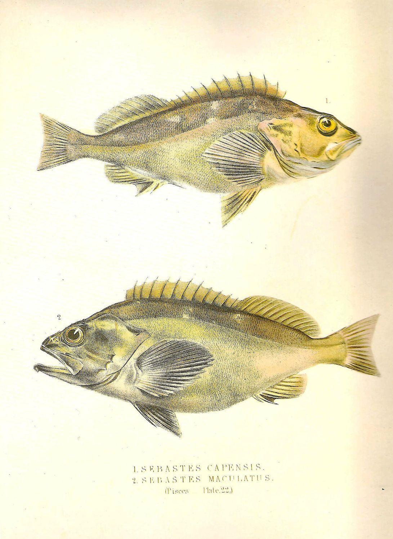 Vintage FISH PRINT False Jacopever 1990 Art Original Book Plate 66 ...