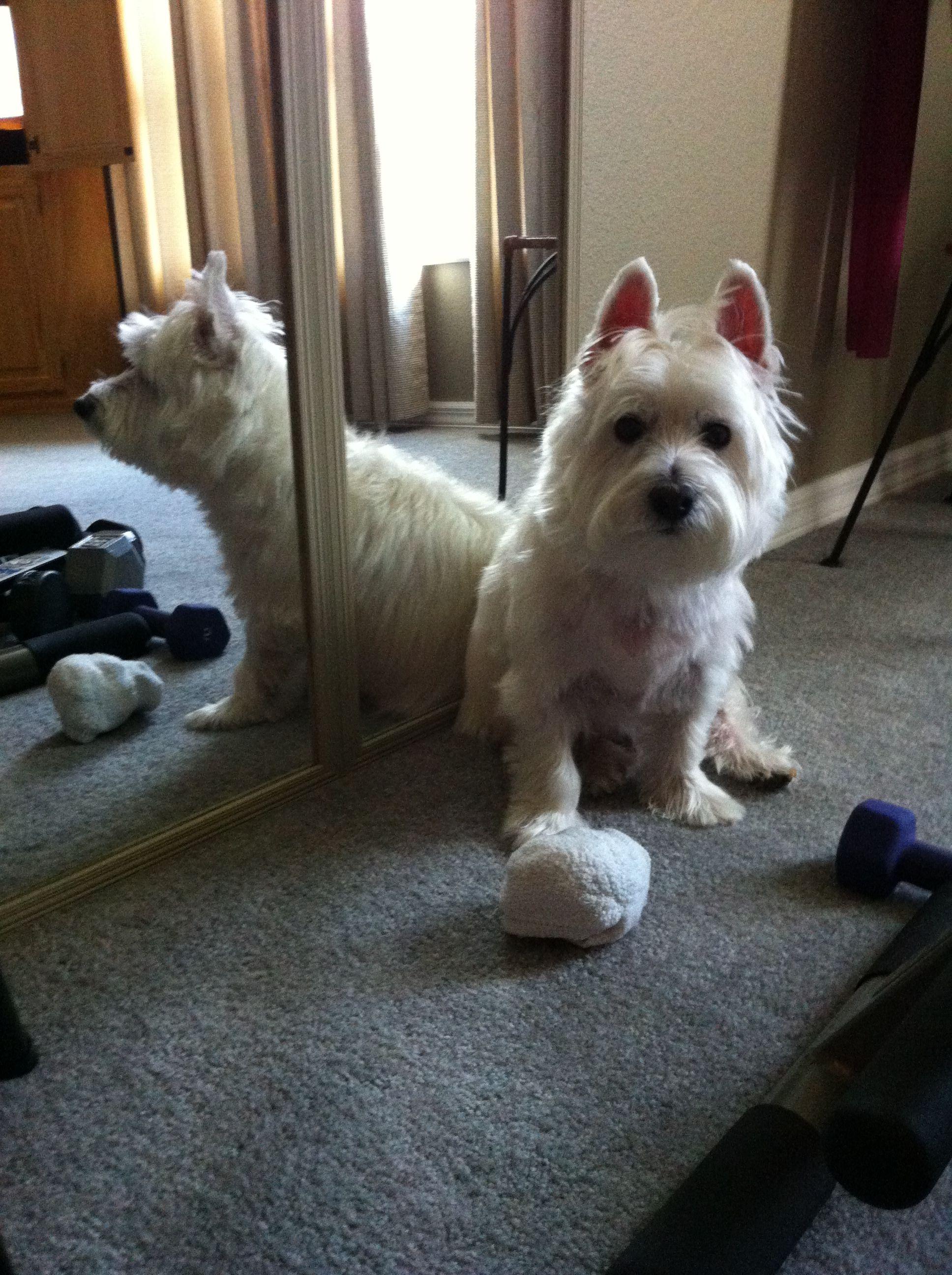 Do I have to exercise? | Westies, West highland white ...