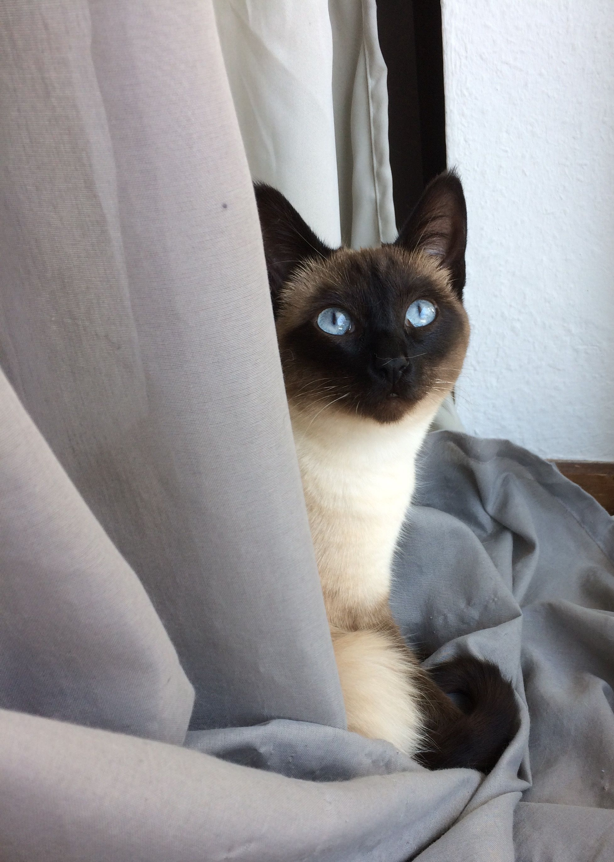 My 9 Month Old Siamese Cat Kaya Siamese Cats Cats Siamese