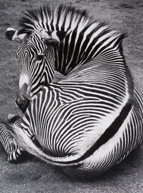 Grevy's Zebra photographed by Wolf Suschitzky, 1992.