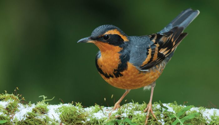 Varied thrush | Nature birds, Bird identification ...