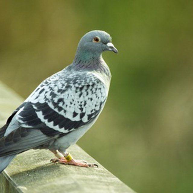 fb2be297bc3dab28026c909fe739bf5c - How To Get Rid Of Pigeons In My Barn