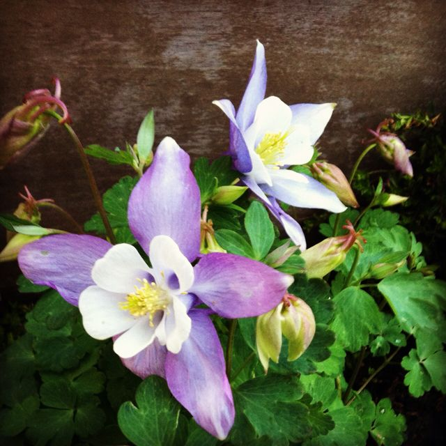 Columbine I planted in my front garden