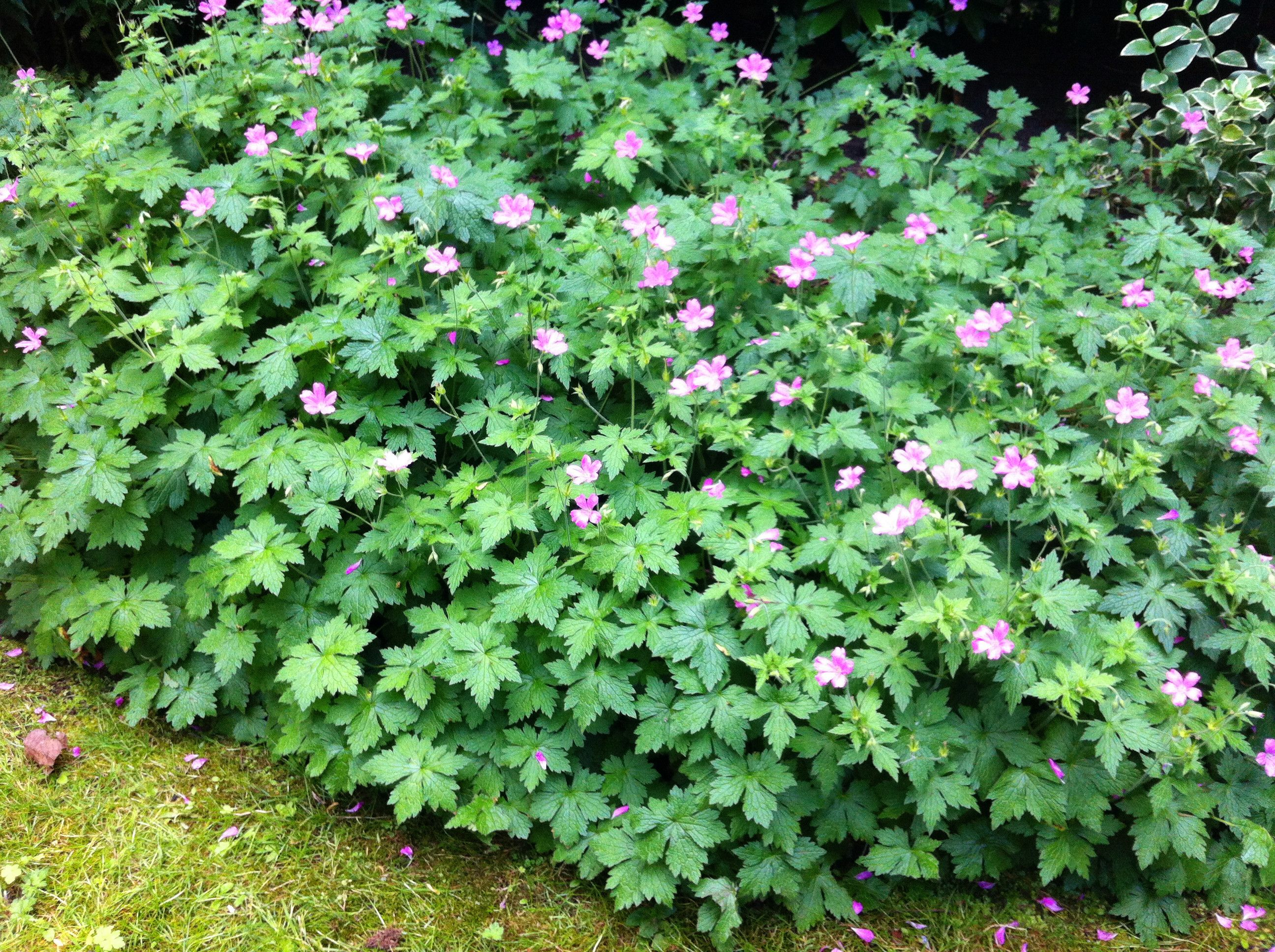 Geranium Endressii Pink mature Hardy Perennial 3 bare root plant