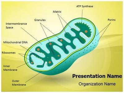 Eukaryotic mitochondrion organelle powerpoint template is one of the eukaryotic mitochondrion organelle powerpoint template is one of the best powerpoint templates by editabletemplates toneelgroepblik Image collections