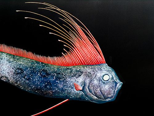 The Giant Oarfish is the world's largest known bony fish ... Oarfish Skeleton