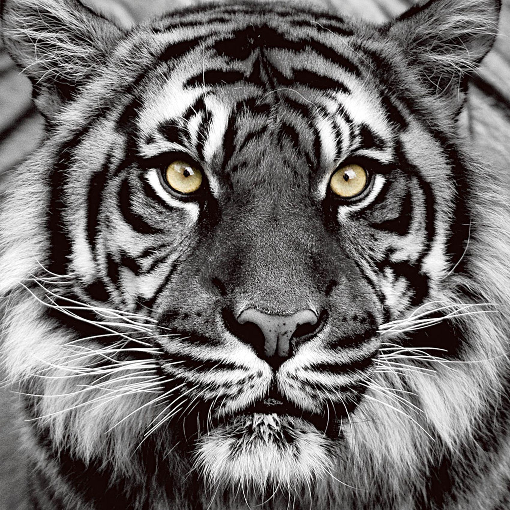 Tiger Augenfarbe