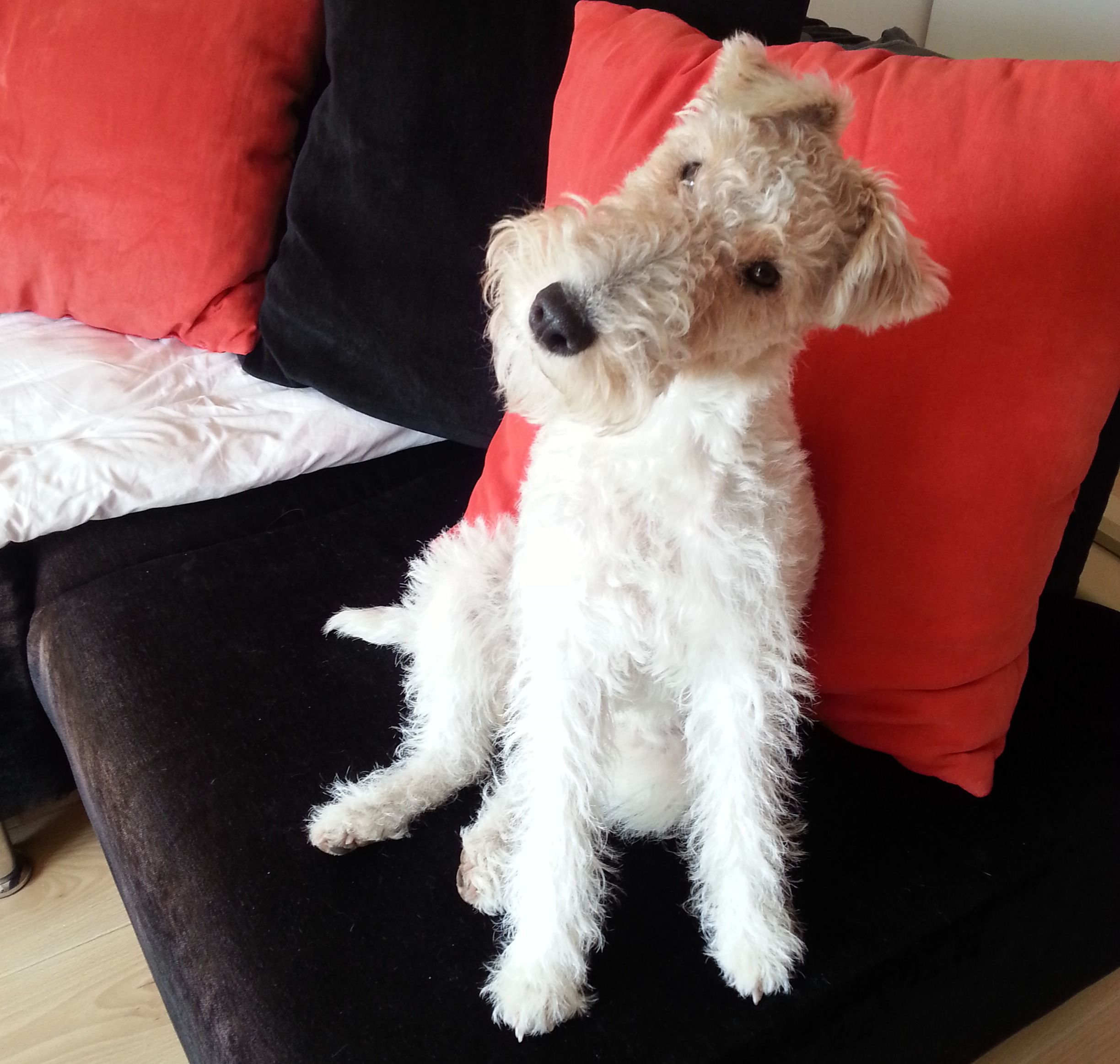 Fox terrier Leeloo: Am I still cute with this long hair, or what?