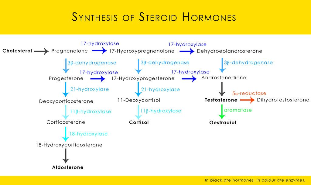steroid hormone pathway chart