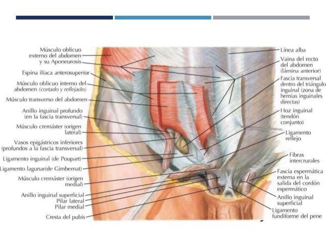 anatomia-y-fisiologia-de-la-region-inguinal-2-638.jpg (638×479) | el ...